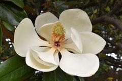 いい匂いの白い花