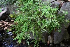 ヒノキ科の樹木