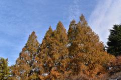 杉の木の種類