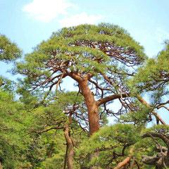 耐乾性の高い木