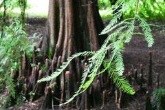 スギ科の樹木