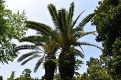 椰子の木,図鑑