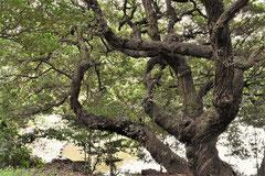 Fagaceae trees in Japan
