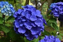 青いアジサイ 種類