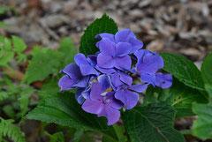 青い花のあじさい