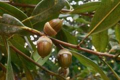 ドングリの木の種類