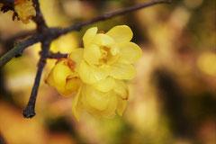 匂いがいい木の花,黄色