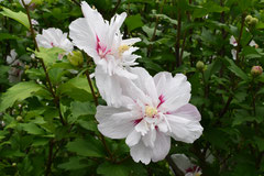 八重咲の品種