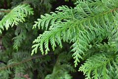 ヒノキに似た木
