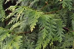 檜葉の種類