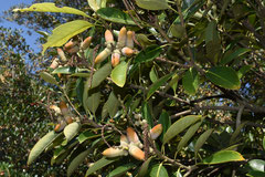 ブナ科の植物