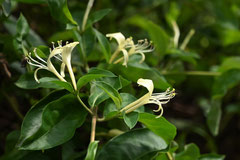 ツタ 植物 品種