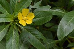 黄色い花の水草