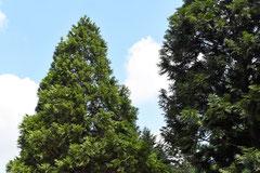 ヒノキ科の庭木