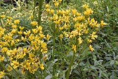 黄色い野草
