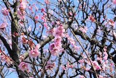 Japanese apricot pink
