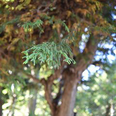 varity of Japanese cedar
