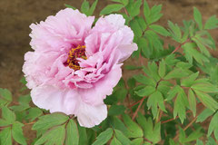 purple peony flower