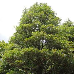 木斛(モッコク)