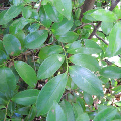 乾燥に強い木
