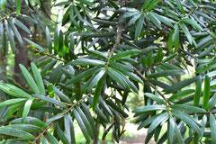 松科の木,種類