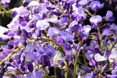 フジの花 種類