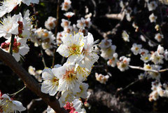 Variety of ume flower