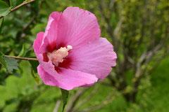 木槿,園芸品種