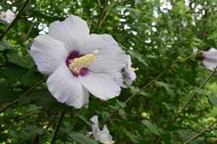 キハチス 花の色