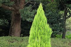 ヒノキ属の木