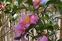 ピンクの花のカンツバキ