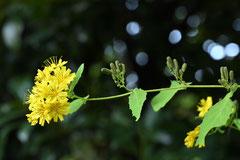 野草,黄色い花