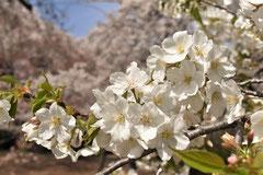 花が匂うサクラ