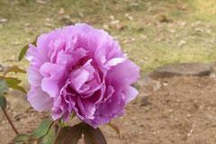 ボタンの花,色