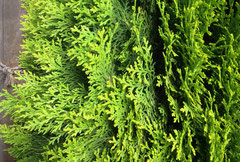 桧葉の種類