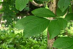 胡麻の香の木