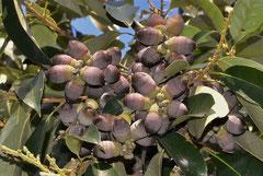 樫の木の実