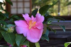 寒椿 花の色