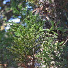 varieties of Japanese cedar