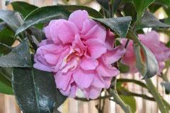 ピンク色のカンツバキ 種類