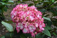 Hydrangea,Variety