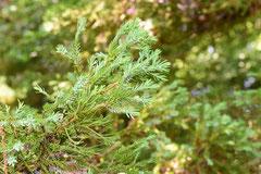 檜木の園芸品種