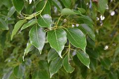 葉っぱが匂う木