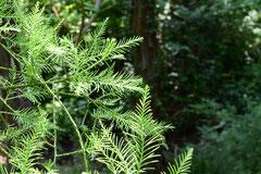 スギ科の庭木