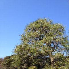 乾燥に強い木 種類