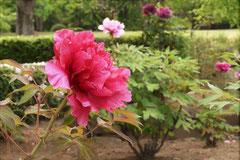 牡丹の花,種類