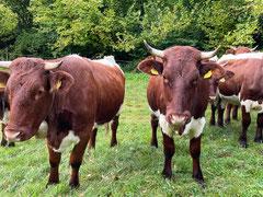 Pinzgauer Kühe