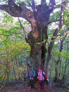 鶴平新道下部のブナの巨木