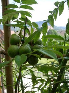 Früchte von Spondias pinnata