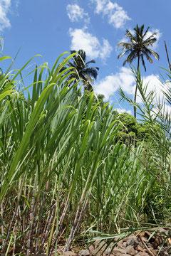 Zuckerrohr und Palmen